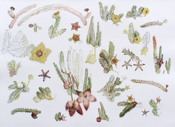 botanical art, stapelia prints, original botanical art