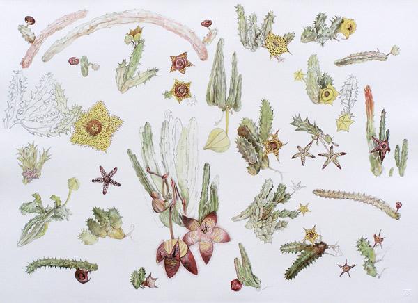 botanical art, stapelia prints, original botanical art