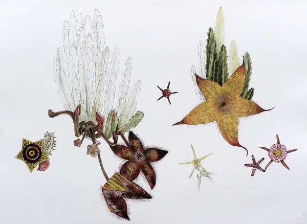 hanneke bernade, south african art, botanical prints, stapelia gigantea